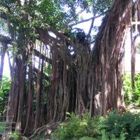 Guadeloupe. Un fromager, arbre typique des Antilles