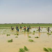 Travaux rizicoles et religion dans la moyenne vallée du Sénégal (Sénégal)