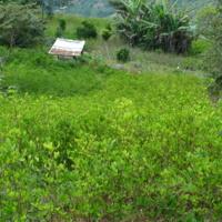 Plantation de coca à Coroico